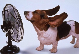 Dog sitting in front of a fan with its ears blowing in the wind.